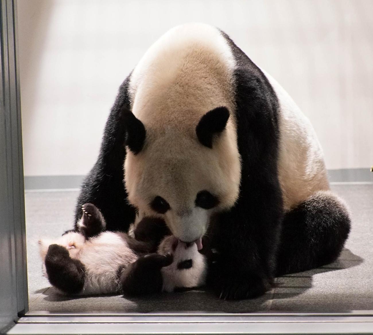 東京・上野動物園のジャイアントパンダ。母親シンシンと雄の赤ちゃん。82日齢、9月13日撮影(東京動物園協会提供)