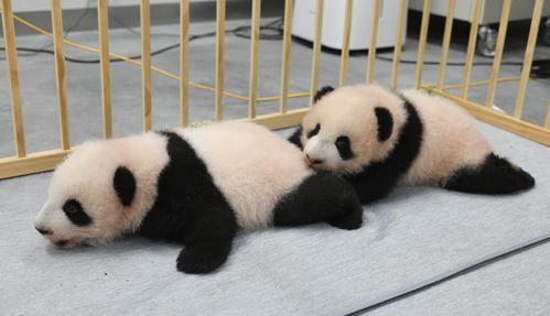 東京・上野動物園の双子のジャイアントパンダ。左が雄のシャオシャオ、右が雌のレイレイ。103日齢=4日撮影(東京動物園協会提供)