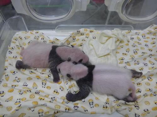 東京・上野動物園のジャイアントパンダの双子の赤ちゃん。7月15日撮影(東京動物園協会提供)