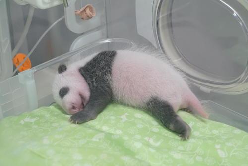東京・上野動物園、ジャイアントパンダの雄の赤ちゃん。7月19日撮影(東京動物園協会提供)