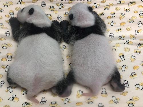 東京・上野動物園のジャイアントパンダの赤ちゃん。左が雌、右が雄。7月20日撮影(東京動物園協会提供)