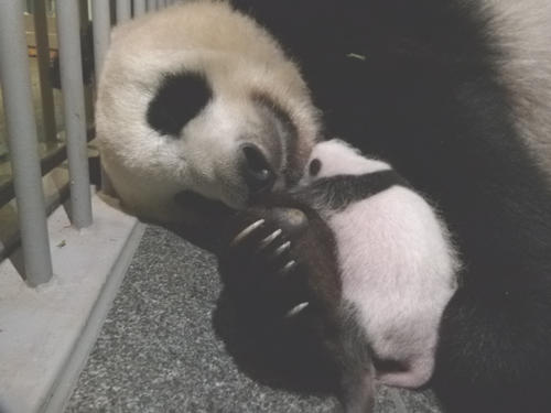 東京・上野動物園のジャイアントパンダ。母親シンシンと雄の赤ちゃん。7月22日撮影(東京動物園協会提供)