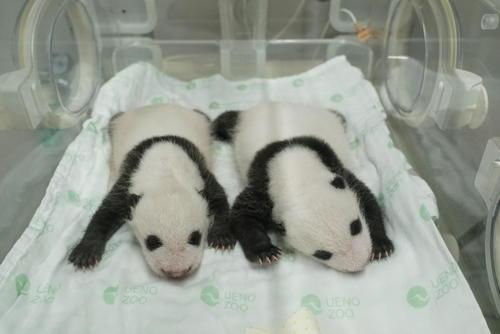 東京・上野動物園の双子のジャイアントパンダ。左が雄、右が雌。7月27日撮影(東京動物園協会提供)