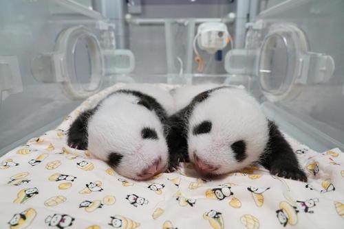 東京・上野動物園の双子のジャイアントパンダ。左が雄、右が雌。7月31日撮影(東京動物園協会提供)
