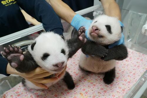 東京・上野動物園の双子のジャイアントパンダ。左が雄、右が雌。48日齢。8月10日撮影(東京動物園協会提供)
