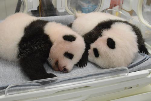 東京・上野動物園の双子のジャイアントパンダ。左が雄、右が雌。61日齢、8月23日撮影(東京動物園協会提供)