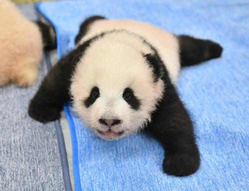 東京・上野動物園、双子のジャイアントパンダの雄。96日齢、9月27日撮影(東京動物園協会提供)