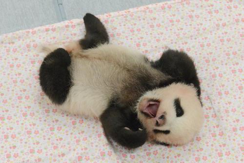 東京・上野動物園、双子のジャイアントパンダの雄。68日齢、8月30日撮影(東京動物園協会提供)