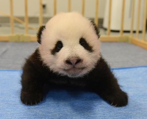 東京・上野動物園、双子のジャイアントパンダの雄。82日齢、9月13日撮影(東京動物園協会提供)