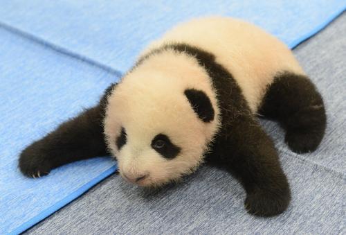 東京・上野動物園、双子のジャイアントパンダの雌。82日齢、9月13日撮影(東京動物園協会提供)