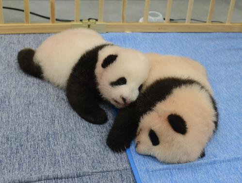 東京・上野動物園の双子のジャイアントパンダ。左が雄、右が雌。82日齢、9月13日撮影(東京動物園協会提供)