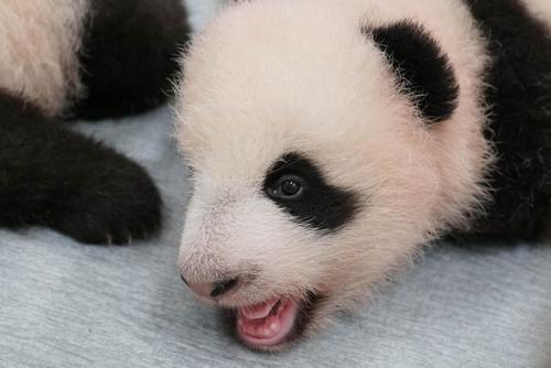 東京・上野動物園、双子のジャイアントパンダの雌。89日齢、9月20日撮影(東京動物園協会提供)