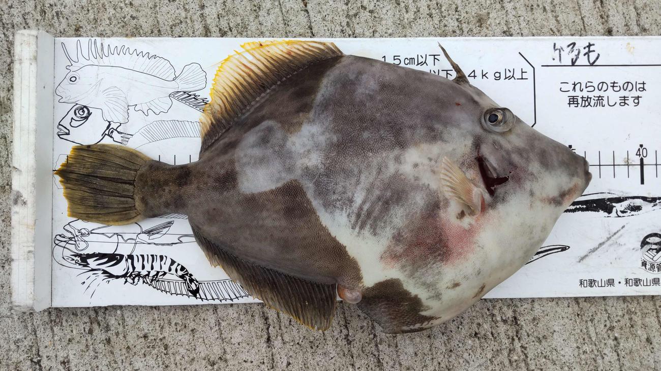 黒岩さんが釣り上げた35.5センチのカワハギ
